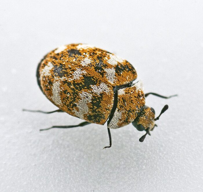 How To Get Rid Of Carpet Beetles In Mattresses (Simple Home Guide)